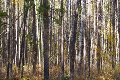Lodgepole pines, and aspens Stock Photos