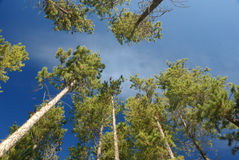 Lodgepole pines, Canadian Rockies Stock Images