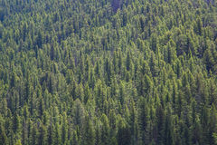 Lodgepole sosny las, Gallatin brama, Montana Obrazy Stock