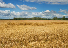 Lodging wheat. Royalty Free Stock Photo