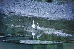 Lodi Italien: Schwäne im Adda-Fluss Lizenzfreie Stockfotografie