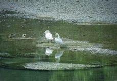 Lodi Italien: Schwäne im Adda-Fluss Stockbilder