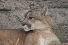 Lodjur eller kuguar, kuguarconcolor royaltyfri foto