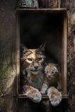 Lodjur för Eurasianlodjurlodjur Arkivfoto