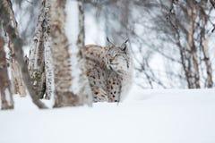 Lodjur i den mest forrest vintern Arkivbilder