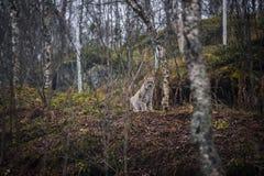 Lodjur i höstskogståenden av den lösa katten i den naturliga miljön Royaltyfria Foton