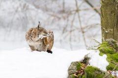 Lodjur i snön Arkivbilder