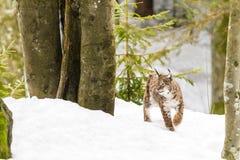 Lodjur i snön Arkivfoto
