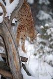 Lodjur i vinter Arkivbilder