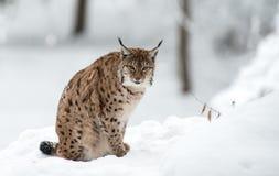 Lodjur i vinter Royaltyfri Foto
