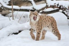 Lodjur i vinter Arkivfoton