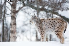 Lodjur i vinterlandskap Royaltyfri Foto