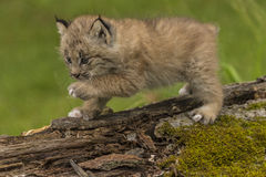Lodjur Kitten Exploring Arkivbild