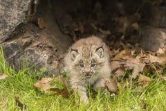 Lodjur Kitten And Hollow Log Arkivfoton