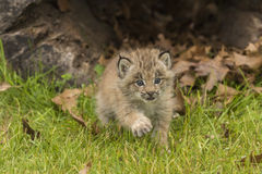 Lodjur Kitten And Hollow Log Royaltyfria Bilder