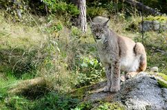Lodjur Lynx lynx Ryś Royalty Free Stock Photography