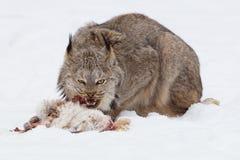 Lodjur som äter en kanin Fotografering för Bildbyråer