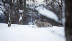Lodjur som lägger i snön Arkivfoton