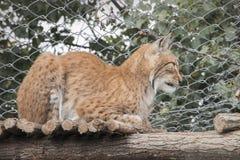Lodjur som lägger på trädstammen i zoo Arkivfoto