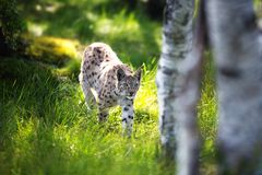 Lodjur som smyga sig i skogen Arkivfoto