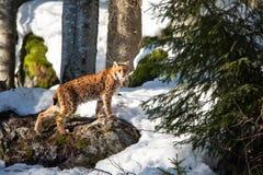 Lodjur som stryker omkring i den snöig vinterskogen - bayersk skog för nationalpark fotografering för bildbyråer
