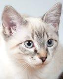 Lodjuret pekar den Siamese kattungen Arkivbild