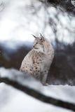Lodjuret sitter i snön Arkivbilder