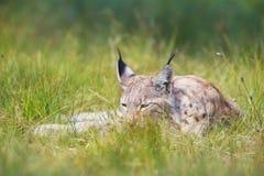 Lodjuret vilar i gräset Arkivbilder