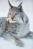 Lodjuret vilar i snön Arkivfoto