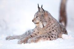 Lodjuret vilar i snön Arkivbild