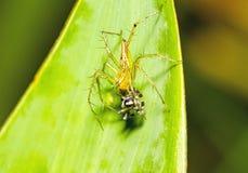 Lodjurspindel, gul kropp och svarta ben som äter svart liten jumpi Royaltyfri Foto
