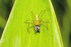 Lodjurspindel, gul kropp och svarta ben som äter svart liten jumpi Royaltyfri Bild