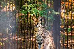 Lodjurstående i zoo Arkivbild