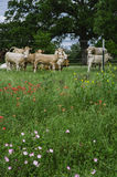 Lodlinje: Texas Meadow, vildblommor och kor Royaltyfria Bilder
