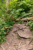 lodlinjen av det stora stupade trädet och grunt skinande rotar korsar smutsbanan royaltyfri bild