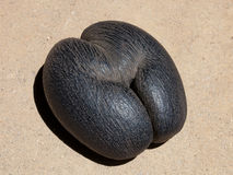 Lodoicea coconut seed stock image
