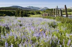 lodowa park narodowy wildflowers Zdjęcia Royalty Free