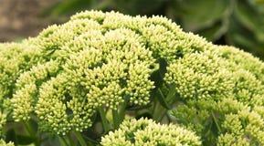 Lodowa roślina Sedum Zdjęcie Stock