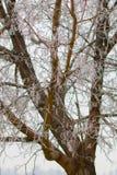 Lodowate gałąź w drzewie Obrazy Stock