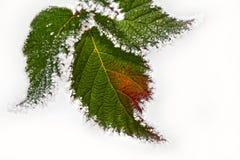 Lodowaty liść w odosobnionym białym tle obraz stock