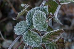 Lodowi kryształy na malinowych liściach Zdjęcia Royalty Free