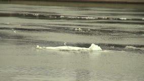 Lodowy floe unosi się w wodzie zdjęcie wideo
