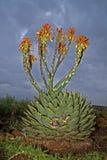 Áloe espiral en flor Fotos de archivo libres de regalías