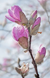 Loebner Magnolia Branch with Buds against Royalty Free Stock Image