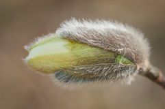Loebner Magnolia (Magnolia x loebneri) Bud Stock Image