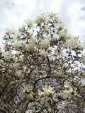 Loebner Magnolia Tree Blossoming in Spring at Central Park. Royalty Free Stock Photo