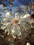 Loebner magnoliaträd som blomstrar i vår på Central Park arkivfoto