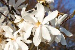 Loebneri bianco della magnolia Fotografia Stock Libera da Diritti