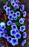 Loeide de blauwe borrel van de het levensstijl petuniq ultra deksel stock fotografie
