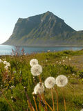 Lofoten's dandelions and mountains. Dadelions and mountains of Haukland beach, Lofoten islands royalty free stock photos
